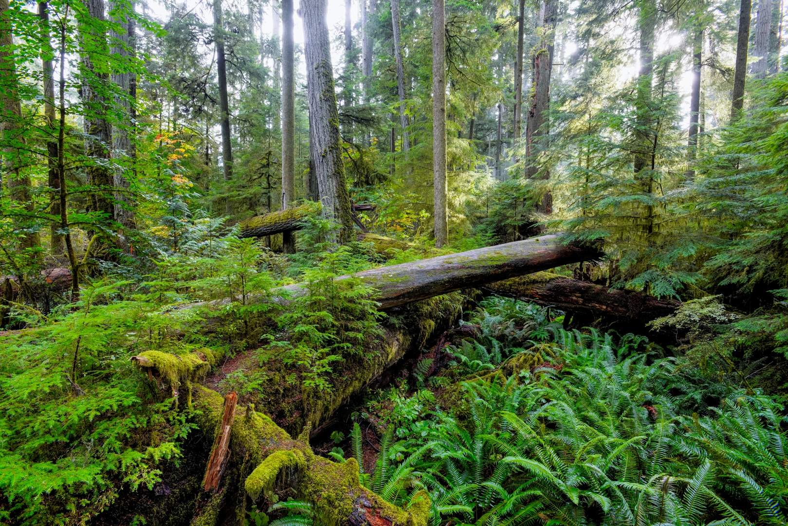 Der Cathedral Grove im MacMillan Provincial Park, Vancouver Island.