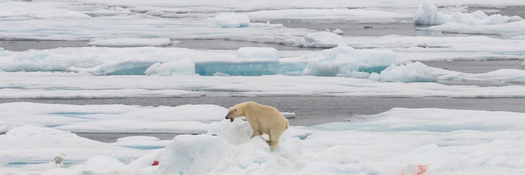 Eisbär und frisches Fleisch auf einer Eisscholle im Packeis vor Baffin Island, Nunavut, Arktis, Kanada