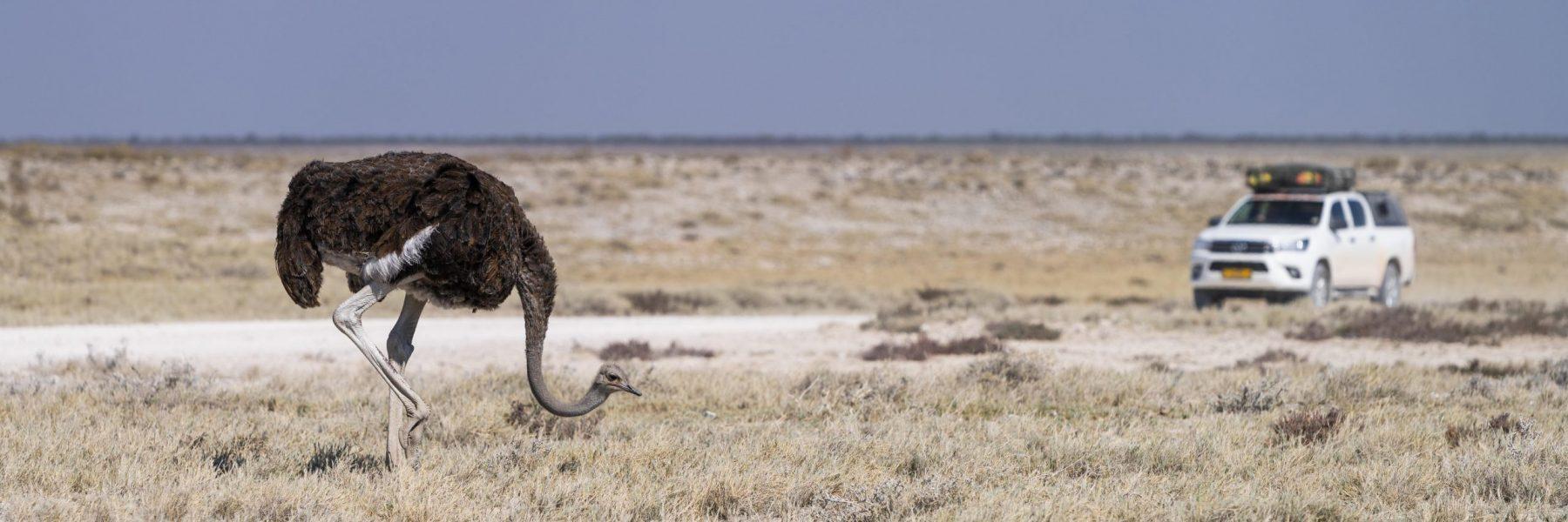 Afrikanischer Strauß (Struthio camelus), hinten ein Geländewagen, Etosha National Park, Namibia