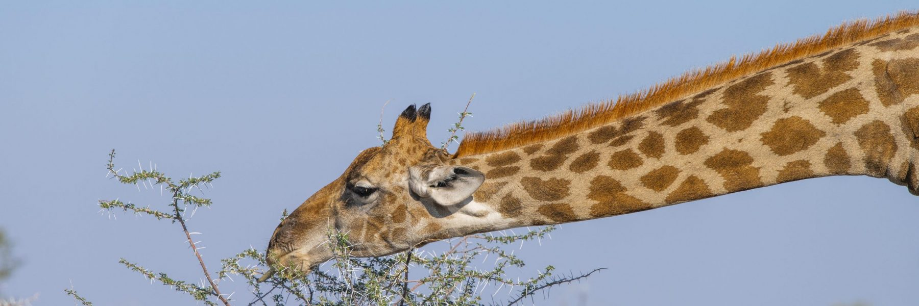 Giraffe (Giraffa) frisst an einem Dornbusch, Etosha National Park, Namibia